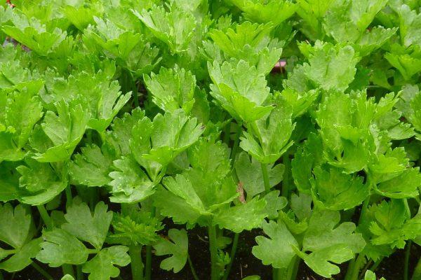 leftover celery