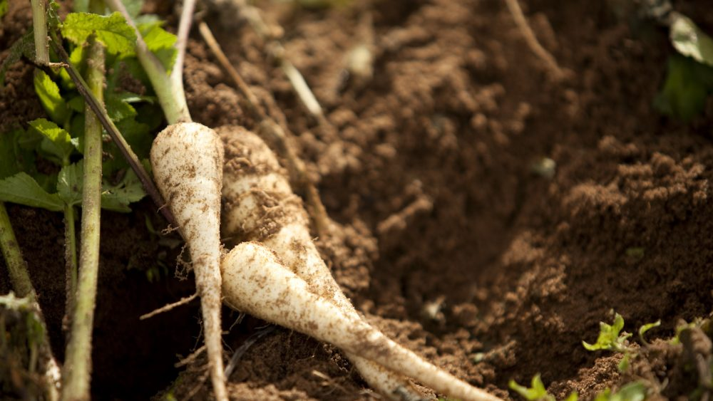 grow parsnips